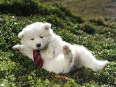犬嫌いでも犬好きになる!「かわい過ぎて見てはいけない」犬界のニューフェイス・サモエド犬の特別メイキング映像