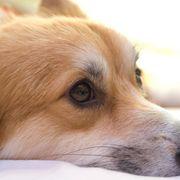 愛犬感動ドラマ、やはり1位は「フランダースの犬」!「泣いてしまうので最後まで観られない」の回答続出!
