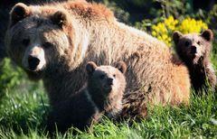 ディズニー、自然ドキュメンタリーでクマを追う!2014年春全米公開!