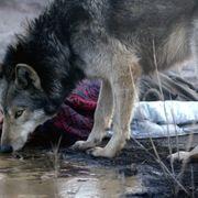 オオカミに欲望を露わにしていく女性…常軌を逸する問題作、12月公開