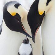 『皇帝ペンギン』続編、神秘的なペンギンの求愛ダンス公開